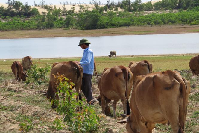 Triệu phú bò ở làng biển