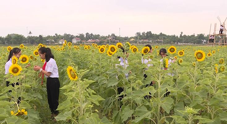Trồng hoa hướng dương-mô hình mới ở Quảng Phương