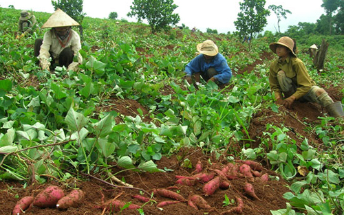 Trồng khoai lang cho hiệu quả gấp 3 trồng lúa