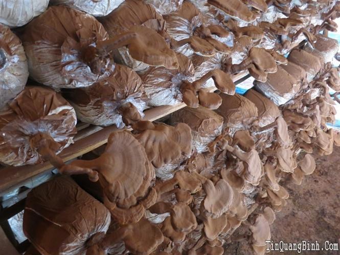 Trồng nấm ở Quảng Bình