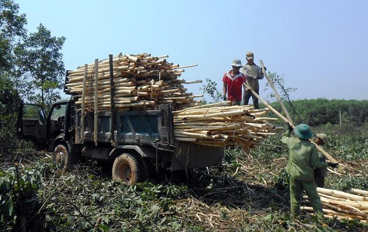 Trồng rừng thoát nghèo ở miền tây Lệ Thủy