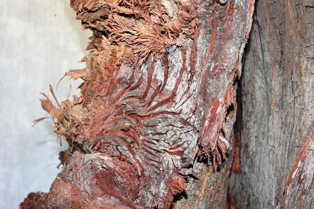"""Tuyệt đẹp vết chân chim trên gốc gỗ huê """"khủng"""""""