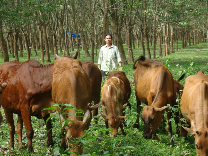 Tỷ lệ bò lai đạt 35%