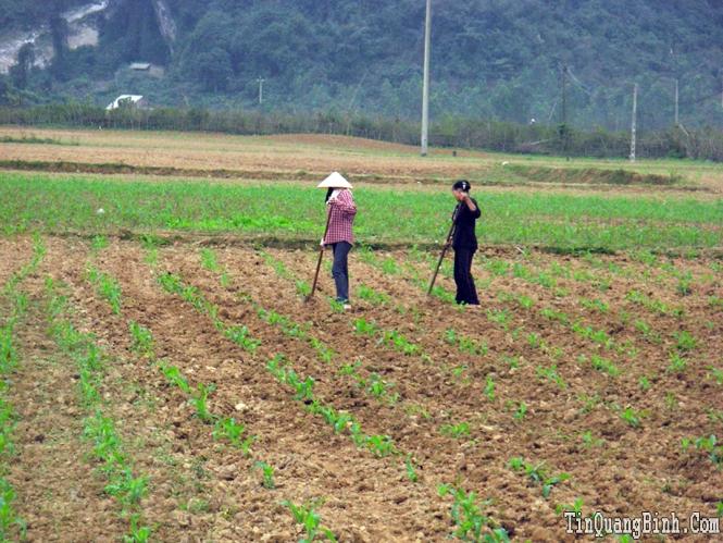 Xây dựng ngô thương phẩm ở xã Minh Hóa