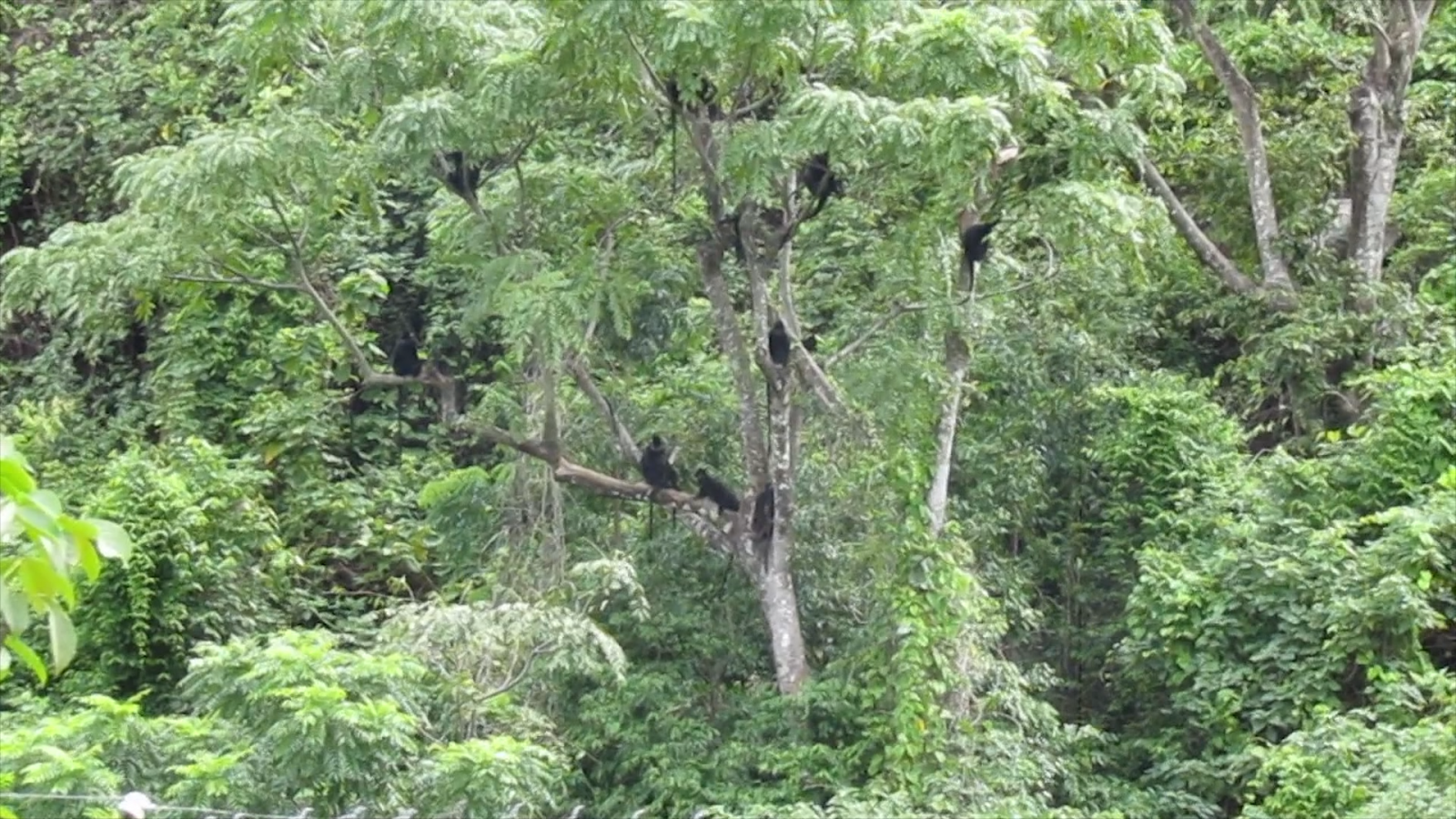 Số lượng loài voọc gáy trắng ở Vườn Quốc gia Phong Nha – Kẻ Bàng đang tăng lên